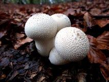 ChampinjonLycoperdon Perlatum Royaltyfri Bild