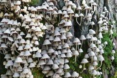 Champinjonparaplyer Arkivfoto