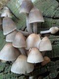 Champinjonsoldater som växer på trä Royaltyfria Foton