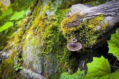 Champinjonstam med mossa i Schweiz Fotografering för Bildbyråer