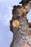 champinjontree Arkivbild