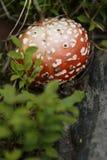 Champinjonväxt i trädgården, lodlinje Royaltyfri Bild