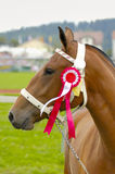 The Champion. A prize-winning horse at a show, showing its rosette Royalty Free Stock Image