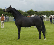 Champion black Arab Stallion Stock Photo