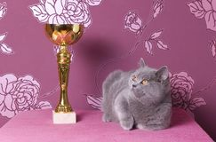 Champion blue british shorthair Stock Photos