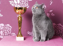 Champion blue british shorthair. Blue british shorthair kitten with a cup Stock Image