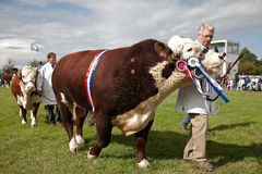 Champion bull and handler Royalty Free Stock Images