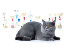 Champion cat with cups on white Royalty Free Stock Photo
