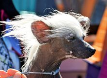Champion Chinese Crested show dog white hair in wind ready to go into show ring. A unique and special portrait of a champion Chinese Crested show dog with his stock photo