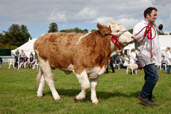 Champion cow Royalty Free Stock Images