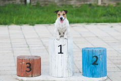 Champion dog on a pedestal gets award for winning the first place. Smiling Jack Russell Terrier on a podium Stock Image