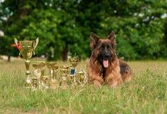 Champion German Shepherd on grass with golden medals