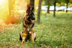 Champion German Shepherd sits on grass