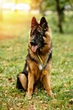 Champion German Shepherd sits on grass with golden medals
