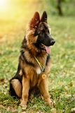 Champion German Shepherd