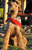 Champion happy Airedale Terrier show dog wearing bandanna Stock Photo