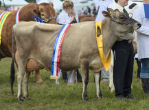 Champion Jersey cow Royalty Free Stock Images