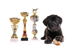 Champion Puppy. Of Bullmastiff breed with three cups Royalty Free Stock Image