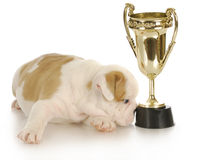 Champion puppy Stock Photo