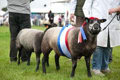 Champion sheep Stock Image