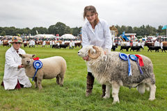 Champion sheep Stock Images