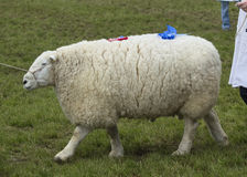 Champion sheep Royalty Free Stock Photography