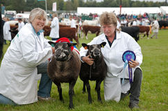 Champion sheep and reserve Stock Photography