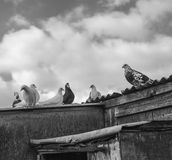 Championship racing pigeons seen on top go there loft in a rural, English location. royalty free stock photography