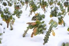 Champs avec des légumes sous la neige Photos stock