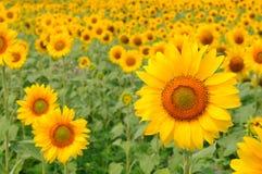 Champs avec le tournesol de floraison Image libre de droits