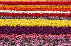 Champs colorés de tulipe, rayures multicolores Photographie stock libre de droits