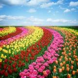 Champs colorés néerlandais de tulipes dans le jour ensoleillé Photo libre de droits