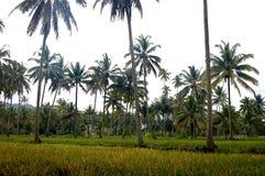 Champs d'arbre de riz et de noix de coco images stock