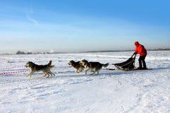 Champs d'hiver et chien de traîneau sibérien Photos libres de droits