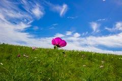Champs de bipinnatus de cosmos avec le beau ciel Photographie stock libre de droits
