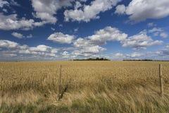 Champs de blé photos libres de droits