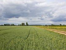 Champs de blé et sentier d'exploitation verts sous un ciel nuageux d'été Photo libre de droits