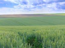 Champs de blé verts Ciel bleu avec des cumulus Summe magique photographie stock