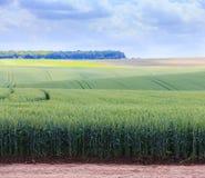 Champs de blé verts Ciel bleu avec des cumulus Summe magique images stock