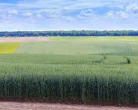 Champs de blé verts Ciel bleu avec des cumulus Summe magique image libre de droits