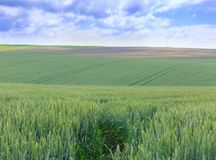 Champs de blé verts Ciel bleu avec des cumulus Summe magique photographie stock libre de droits