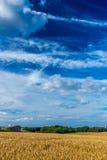 Champs de blé d'or et ciel bleu dramatique en juillet, la Belgique Photographie stock libre de droits