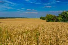 Champs de blé d'or et ciel bleu dramatique en juillet, la Belgique Photos stock