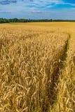 Champs de blé d'or et ciel bleu dramatique en juillet, la Belgique Images libres de droits