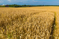 Champs de blé d'or et ciel bleu dramatique en juillet, la Belgique Photos libres de droits