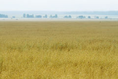 Champs de blé jaunes Photographie stock