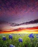 Champs de Bluebonnet dans le Texas photographie stock
