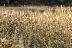 Champs de brun d'herbe Photographie stock libre de droits