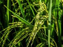 Champs de champs et oreilles de riz images stock