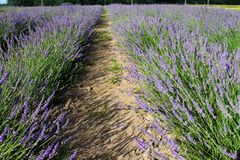 Champs de Lavandula Images stock